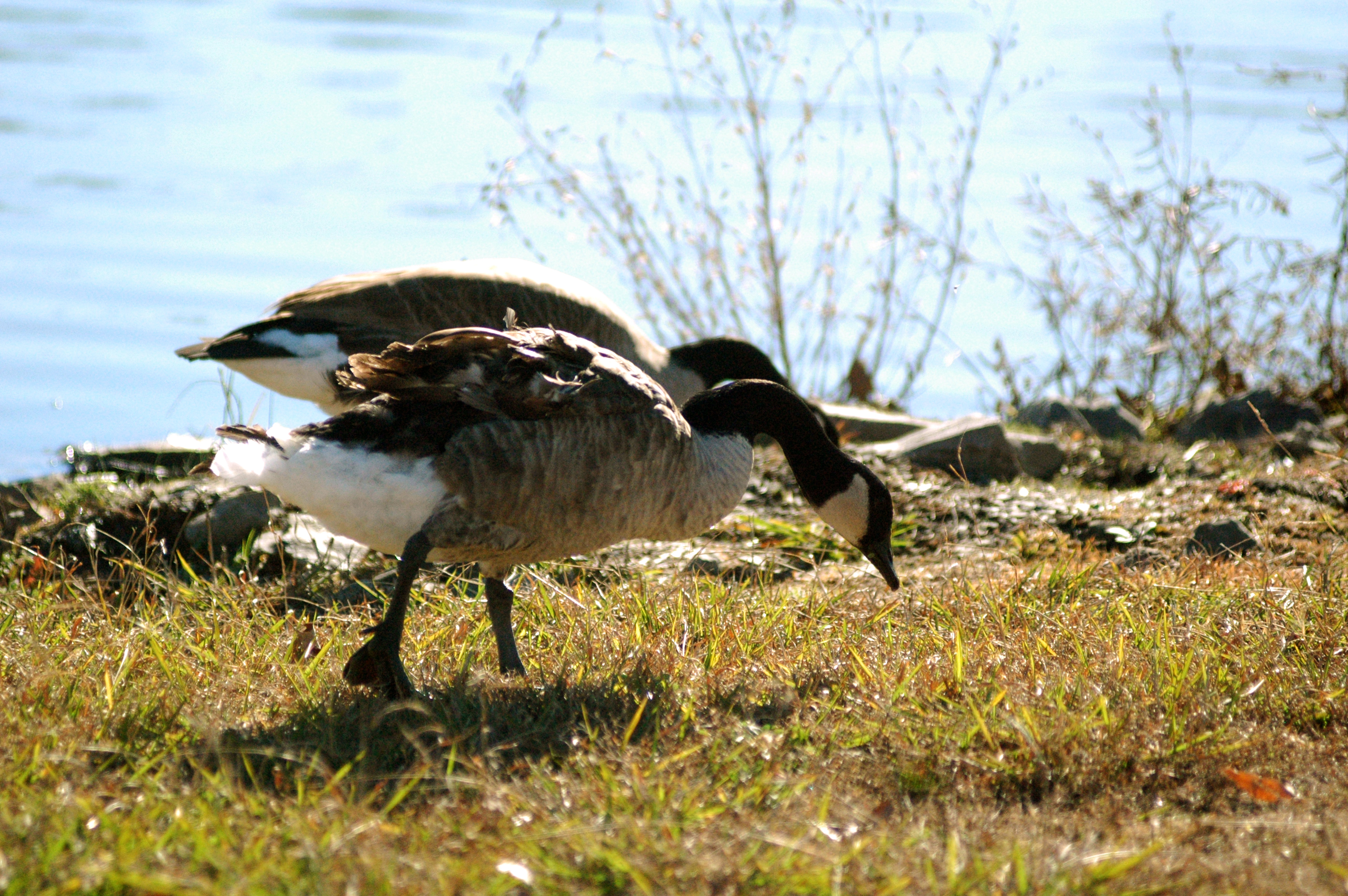 Foraging Geese