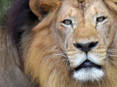 Zoo-African Lion-4037