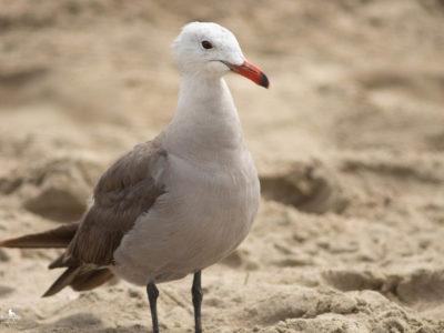 Seagull-7296